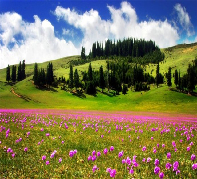 喀纳斯鲜花