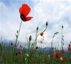伊犁天山红花