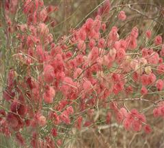 沙漠植物园沙拐枣
